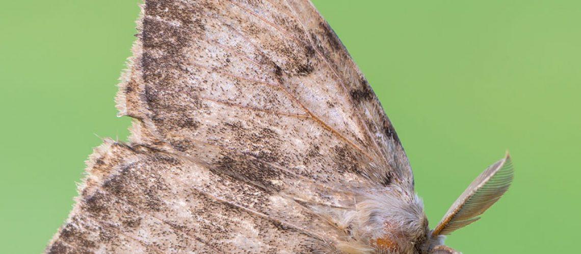 Gypsy moth / City of Burlington photo